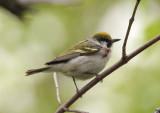 Chestnut-sided Warbler; female