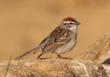 Chipping Sparrow; breeding