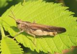 Chortophaga viridifasciata viridifasciata; Northern Green-striped Grasshopper; male