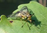 Chrysops Deer Fly species; female