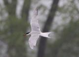 Common Tern; breeding