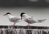 Common Terns; breeding