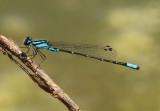 Enallagma geminatum; Skimming Bluet; male