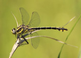Gomphus externus; Plains Clubtail; male