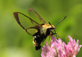 Hemaris thetis; Snowberry Clearwing