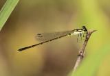Ischnura posita; Fragile Forktail; male