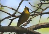 Kentucky Warbler; male