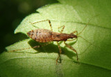 Nabis Damsel Bug species nymph