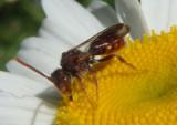 Nomada Cuckoo Bee species