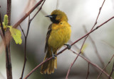 Orchard Oriole; first year male