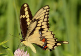 Papilio cresphontes; Giant Swallowtail