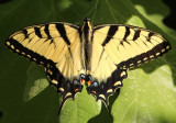 Papilio glaucus; Eastern Tiger Swallowtail; male