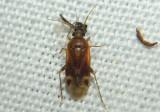 Plagiognathus delicatus; Plant Bug species
