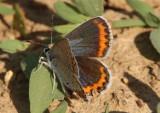 Plebejus melissa; Melissa Blue; female