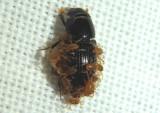 Poecilochirus Mite species