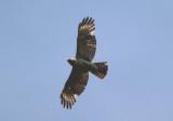 Red-shouldered Hawk; juvenile