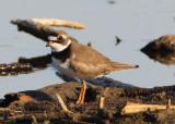 Semipalmated Plover; breeding
