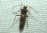 Sericophanes heidemanni; Plant Bug species