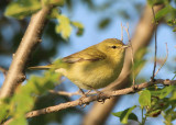 Tennessee Warbler; female
