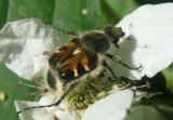 Trichiotinus Flower Chafer species