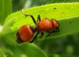 Dasymutilla Velvet Ant species; female