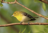 Vireos and Other Small Songbirds