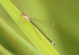Pacific Forktail; immature female