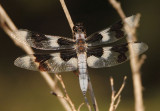 Libellula forensis; Eight-spotted Skimmer; male