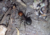 Formica obscuripes; Thatching Ant
