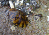 Fenestrate Limpets