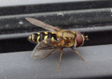 Lapposyrphus lapponicus; Syrphid Fly species; male