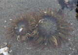 Pink-tipped Anemones