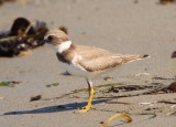 Semipalmated Plover; basic