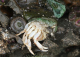 Green Sea Anemone with prey