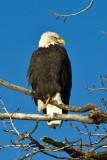 eagles_alaska_2017