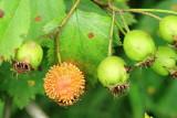Cedar Rust (Gymnosporangium sp.)