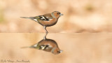 Vink / Common Chaffinch