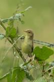 Spotvogel / Icterine warbler