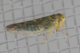Unidentified Leafhoppers