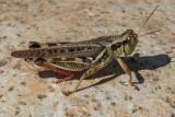 Grasshopper, Mantis