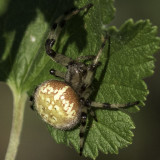 Spiders and other Arachnids