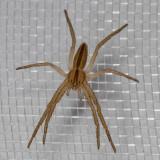 (Tibellus oblongus) Slender Crab Spider