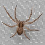 (Philodromus dispar) Running Crab Spider