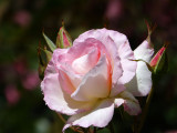 Life is a rose, beware of the thorns