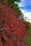 Autumnal Berberis