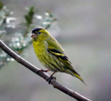 The European Siskin