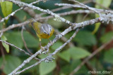 Ashy Throated Bush Warbler.jpg