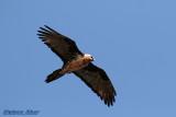 Bearded Vulture.jpg