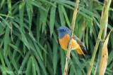 Blue Fronted Redstart.jpg