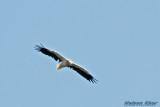 Egyptian Vulture.jpg